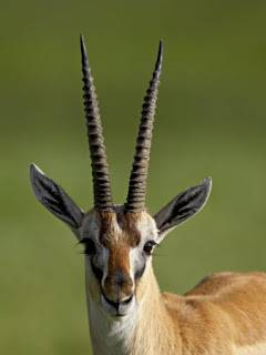 Thomsons gazelle (.jpg